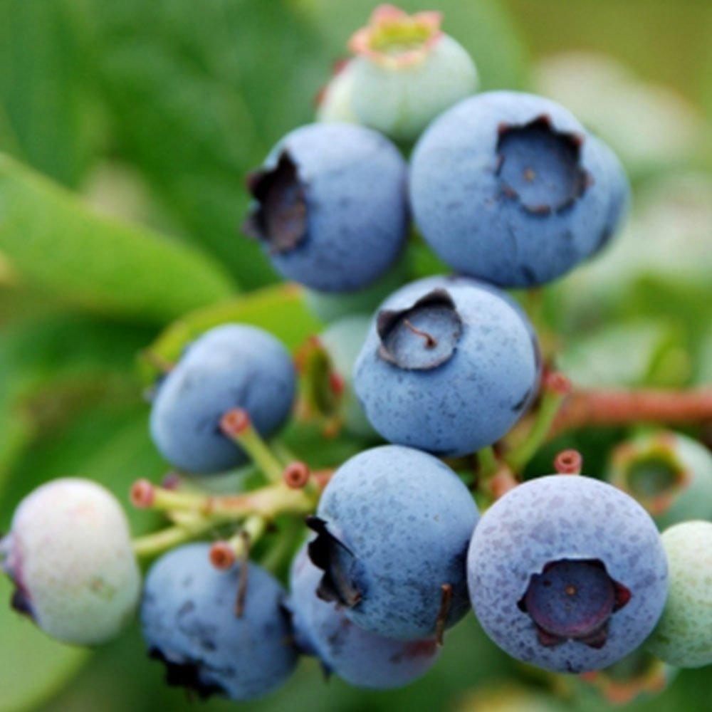 50Pcs Rare Dwarf Blueberry Tree Organic Bonsai Seeds Mini Exotic Home Garden